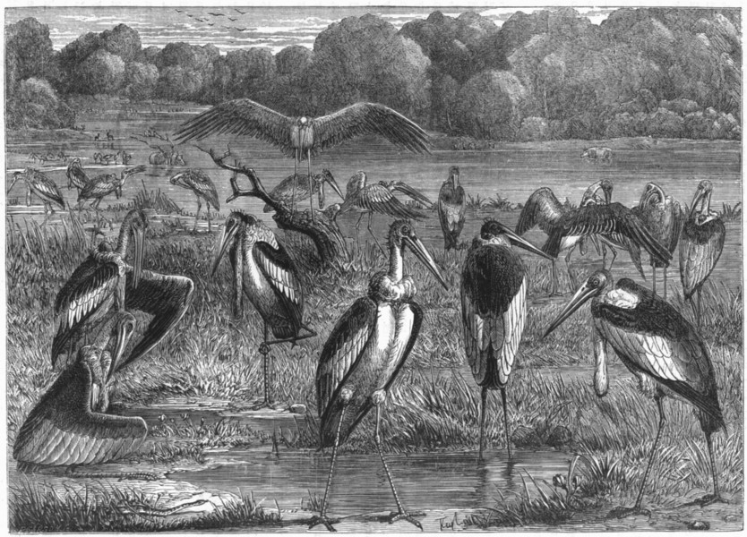 Associate Product BIRDS. Stilt-Walker. Stork. Adjutant c1870 old antique vintage print picture