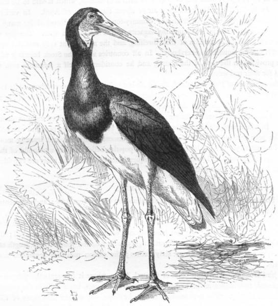 Associate Product BIRDS. Stilt-Walker. Stork. Simbil c1870 old antique vintage print picture