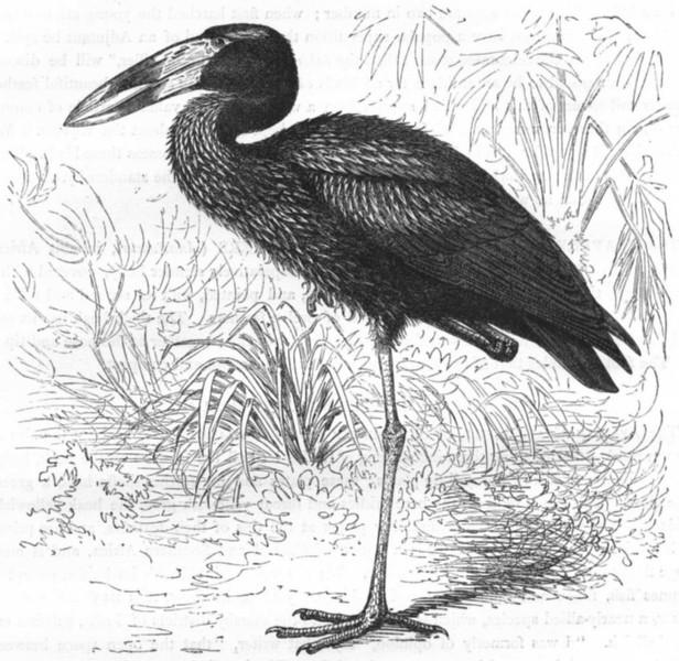 Associate Product BIRDS. African Clapper-Billed Stork, Shell-Eater c1870 old antique print