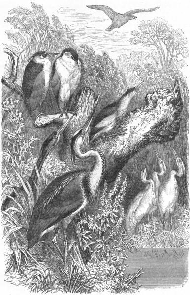 Associate Product BIRDS. Stilt-Walker. Heron. Day & Night c1870 old antique print picture