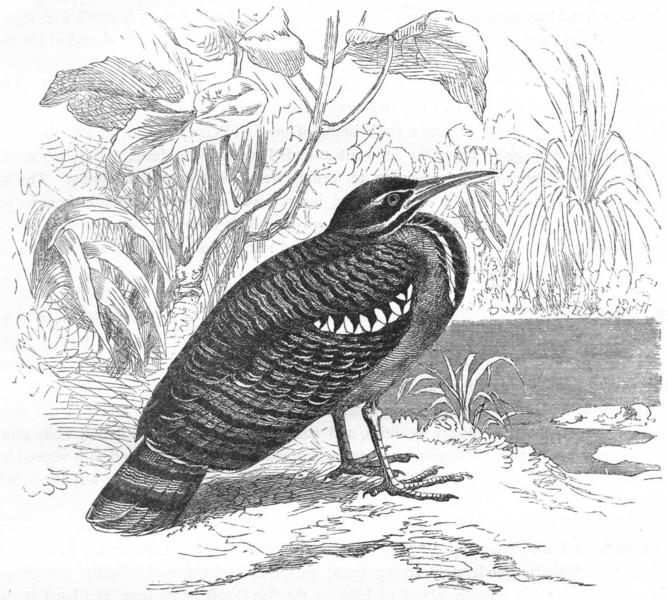 Associate Product STILT-WALKER. Bittern. Sun, Peacock Heron c1870 old antique print picture