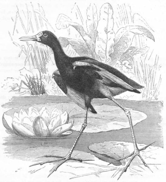 Associate Product BIRDS. Stilt-Walker. Rail. Jacana c1870 old antique vintage print picture