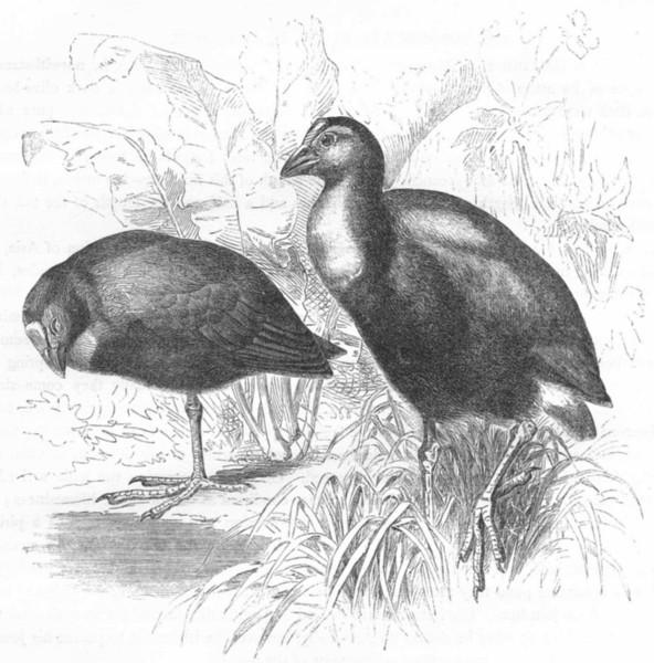 Associate Product STILT-WALKER. Water-Hen. Hyacinthine Porphyrio c1870 old antique print picture