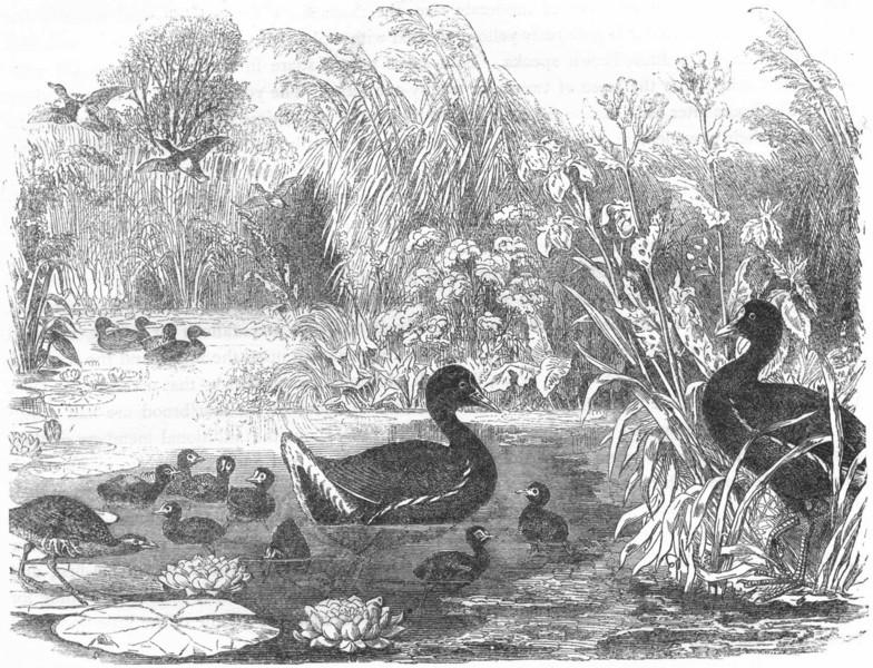 Associate Product BIRDS. Stilt-Walker. Water-Hen. Home of Moor  c1870 old antique print picture