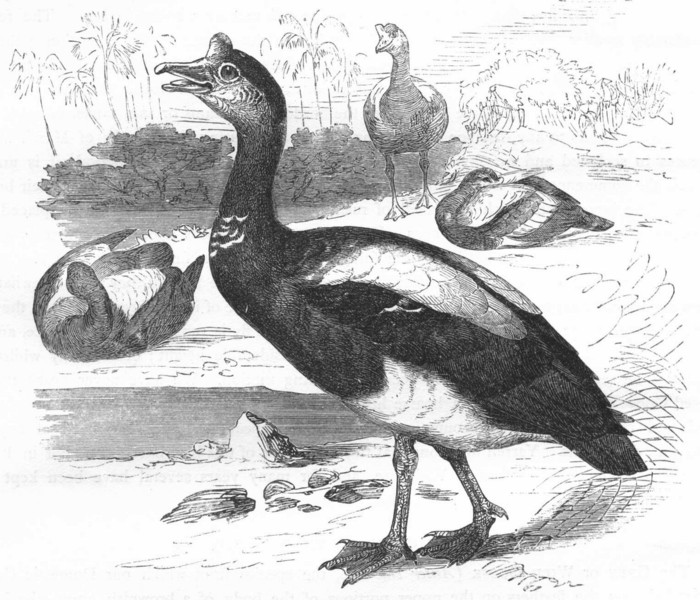 Associate Product BIRDS. Swimmers. Goose. Spur-Winged c1870 old antique vintage print picture