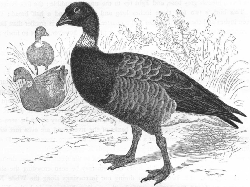 Associate Product BIRDS. Swimmers. Goose. Brent c1870 old antique vintage print picture