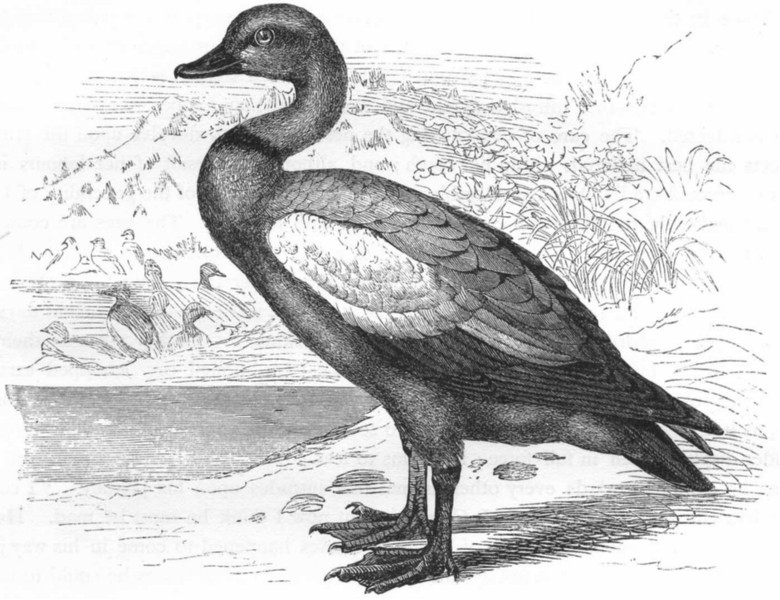 Associate Product BIRDS. Swimmers. Duck. Ruddy Sheldrake, Brahminy c1870 old antique print