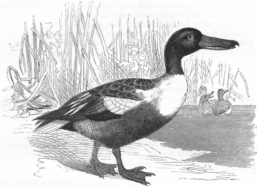 Associate Product BIRDS. Swimmers. Duck. Shoveler c1870 old antique vintage print picture