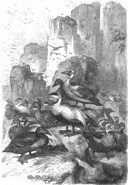 Associate Product BIRDS. Swimmers. Duck. Eider at Home c1870 old antique vintage print picture
