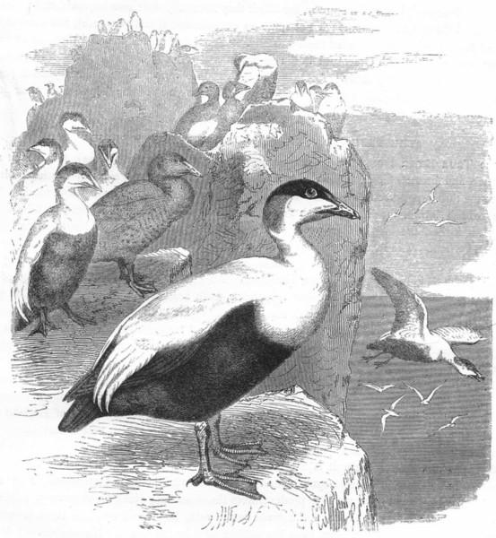 Associate Product BIRDS. Swimmers. Duck. Eider c1870 old antique vintage print picture