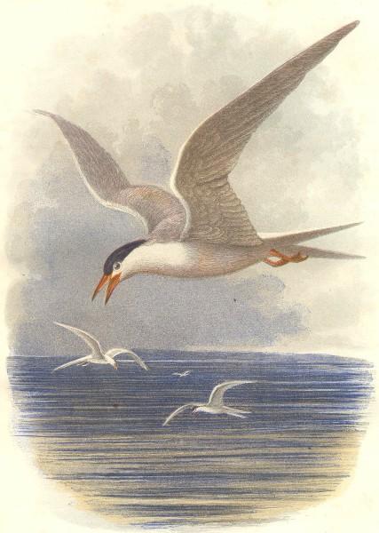 Associate Product BIRDS. Swimmers. Merganser, Goosander. Common Tern c1870 old antique print