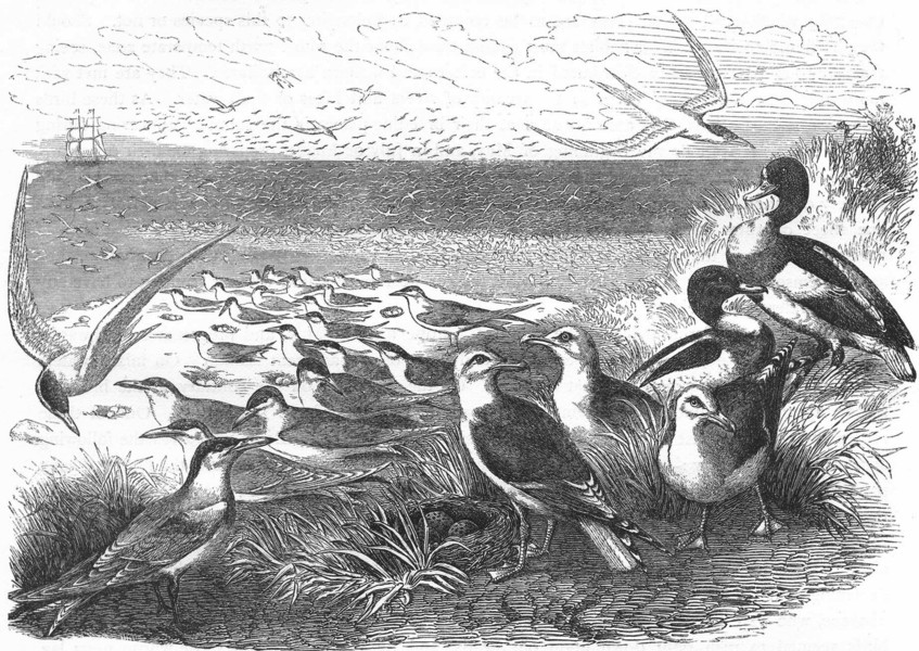 Associate Product BIRDS. Sea-Flier. Tern, Swallow. & nests c1870 old antique print picture