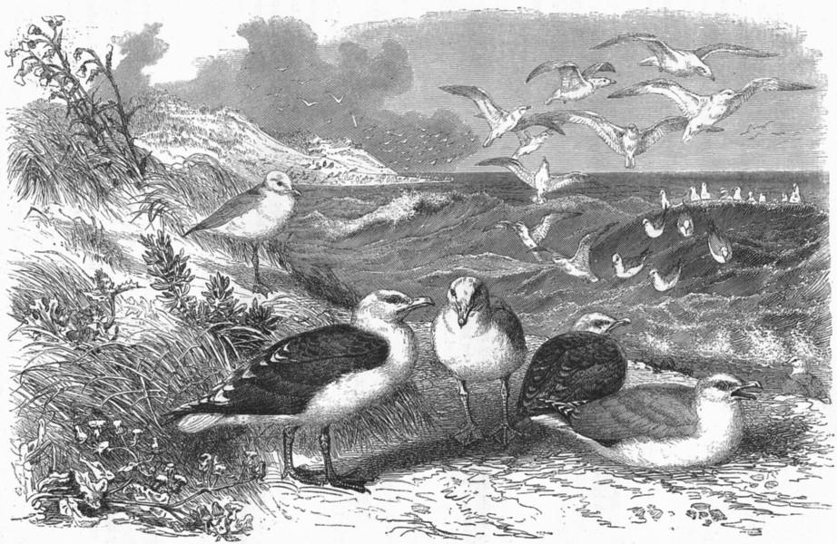 Associate Product BIRDS. Sea-Flier. Gulls. Black-backed & Herring c1870 old antique print
