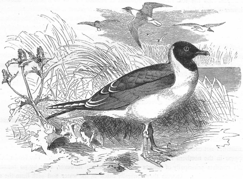 Associate Product BIRDS. Sea-Flier. Kittiwake. Laughing Gull c1870 old antique print picture