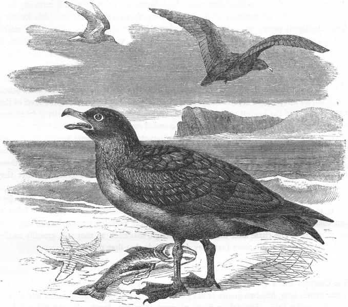 Associate Product BIRDS. Sea-Flier. Skua. Common c1870 old antique vintage print picture