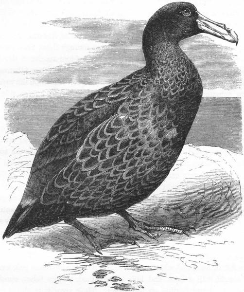 Associate Product BIRDS. Sea-Flier. Petrel, Storm Bird. Giant c1870 old antique print picture