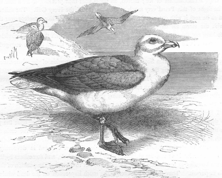 BIRDS. Sea-Flier. Petrel, Storm Bird. Fulmar c1870 old antique print picture