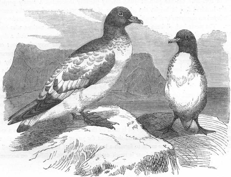 Associate Product SOUTH AFRICA. Sea-Flier. Petrel, Storm Bird. Cape c1870 old antique print