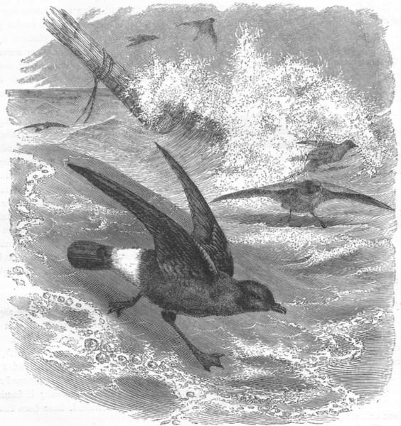 Associate Product SEA-FLIER. Petrel, Storm Common c1870 old antique vintage print picture