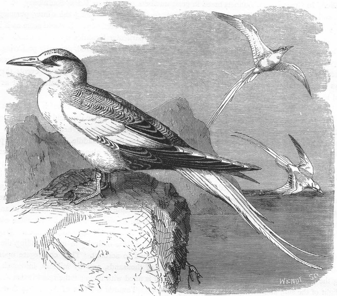 Associate Product BIRDS. Sea-Flier. tropic bird. White-tailed c1870 old antique print picture