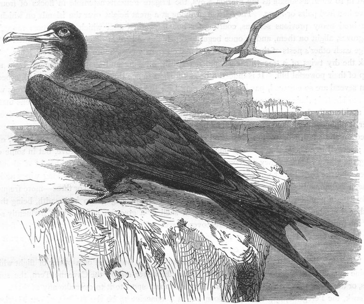 Associate Product BIRDS. Sea-Flier. tropic bird. ship c1870 old antique vintage print picture