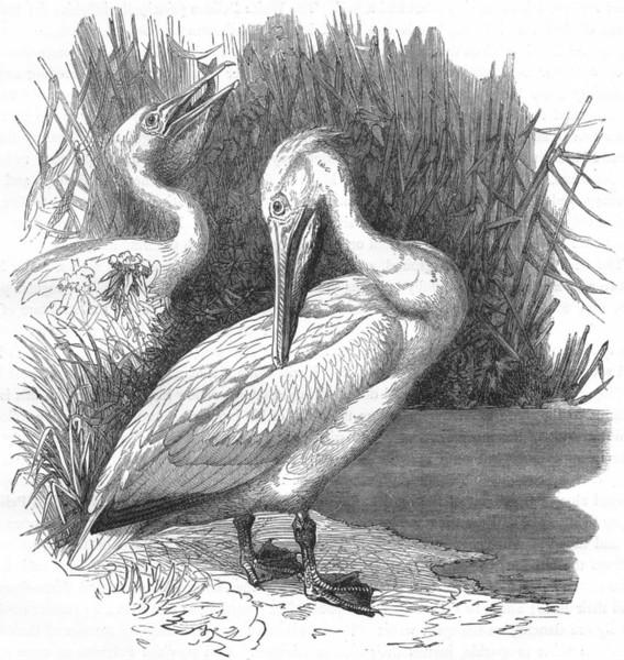 Associate Product BIRDS. Sea-Flier. Pelican c1870 old antique vintage print picture