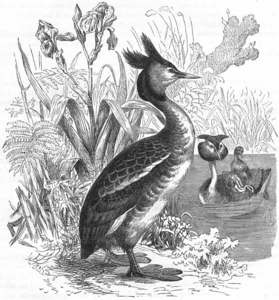 Associate Product BIRDS. Diver. Grebe. Crested c1870 old antique vintage print picture