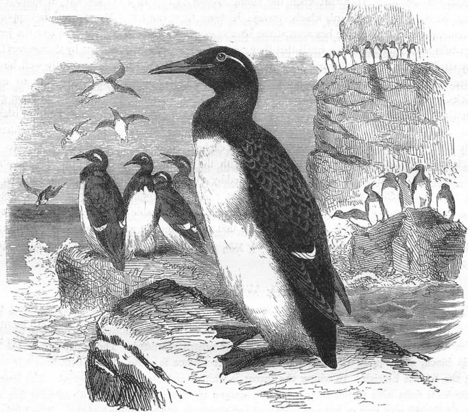 Associate Product BIRDS. Diver. Grebe. Common Foolish Guillemot c1870 old antique print picture