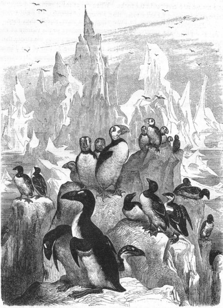 Associate Product BIRDS. Diver. Stariki. An Assemblage of Auks c1870 old antique print picture