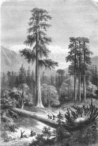 Associate Product NORTH AMERICA. Giant pine trees of Sonora 1870 old antique print picture