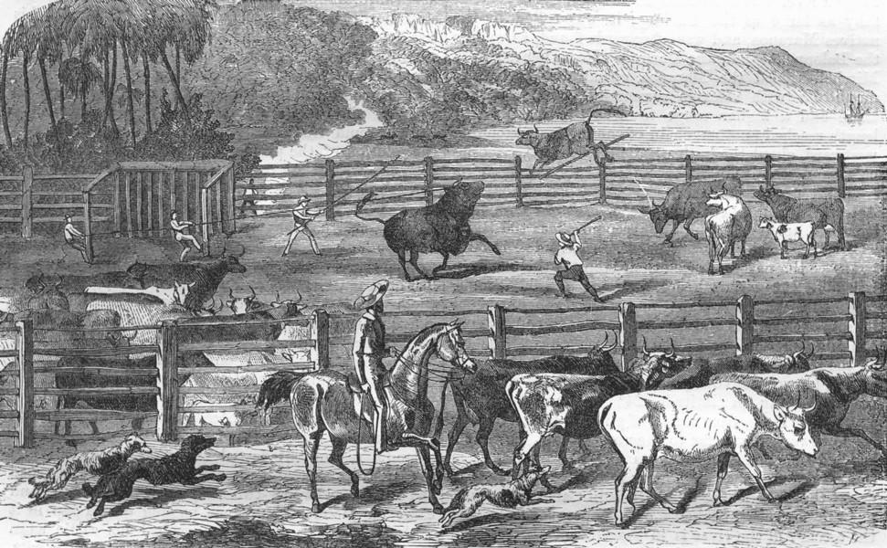 Associate Product AUSTRALIA. Branding cows 1870 old antique vintage print picture