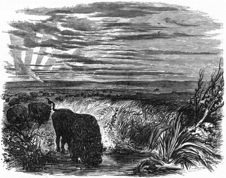 Associate Product USA. Herd of Buffaloes(Bison Americanus)Prairie c1880 old antique print