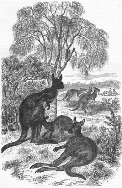 Associate Product ANIMALS. Kangaroos 1880 old antique vintage print picture