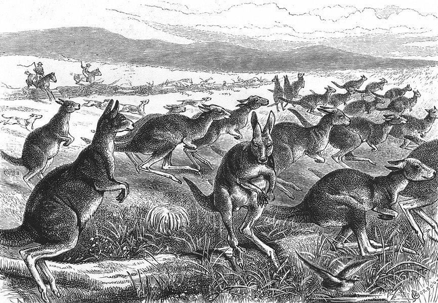 Associate Product AUSTRALIA. Australian Fauna and Flora. A Kangaroo Battue 1886 old print