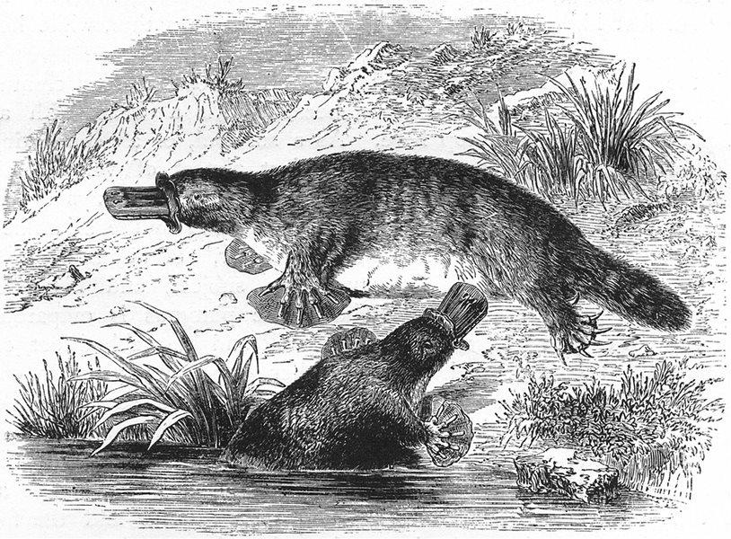 AUSTRALIA. Australian Fauna and Flora. The Platypus 1886 old antique print