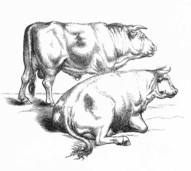 Associate Product COWS. Meadow(Bull & cow)-Landseer c1880 old antique vintage print picture