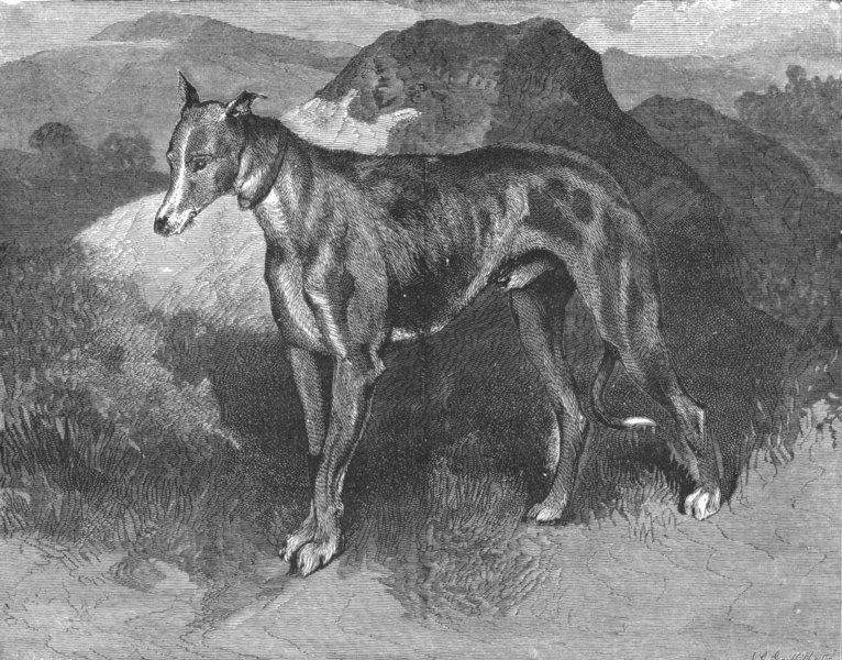 Associate Product DEER. A Deer-hound-Landseer c1880 old antique vintage print picture