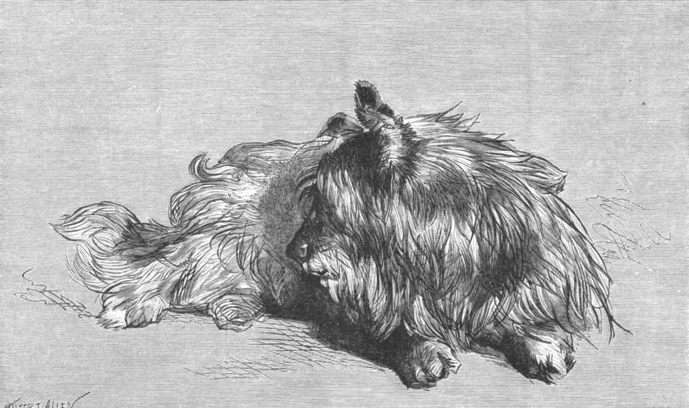Associate Product DOGS. A Dandie Dinmont-Landseer c1880 old antique vintage print picture