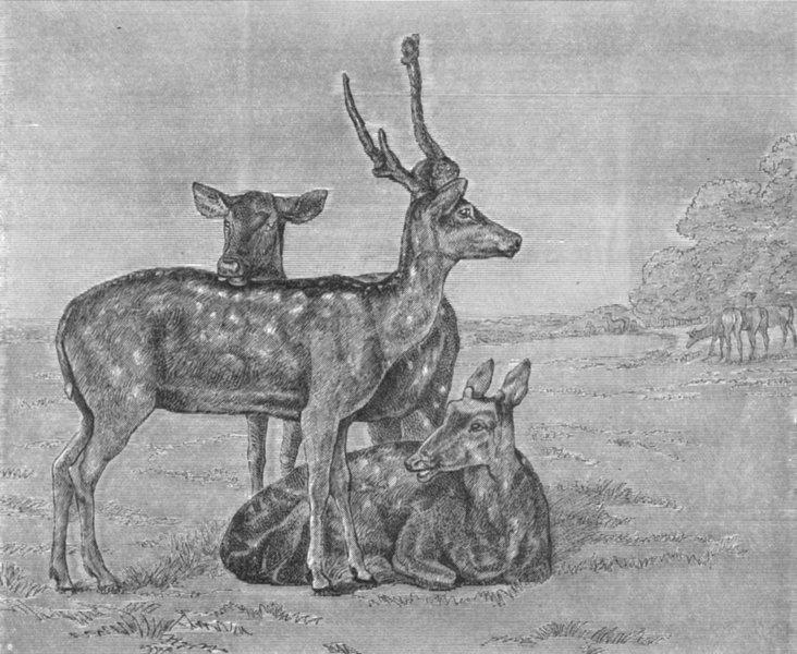 Associate Product DEER. Fallow Deer-Landseer c1880 old antique vintage print picture