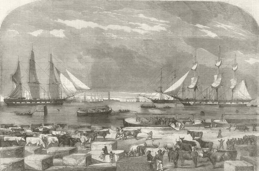 Associate Product Embarkation of Cattle at Trieste for the Auxiliary Army. Italy. Crimean War 1854