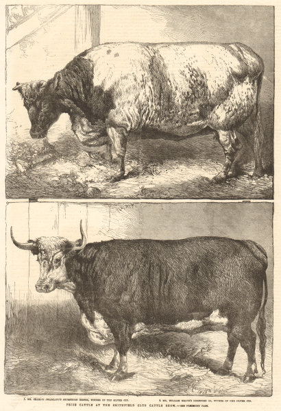 Associate Product Prize cattle at the Smithfield Club Cattle Show. London. Cows 1863 ILN print