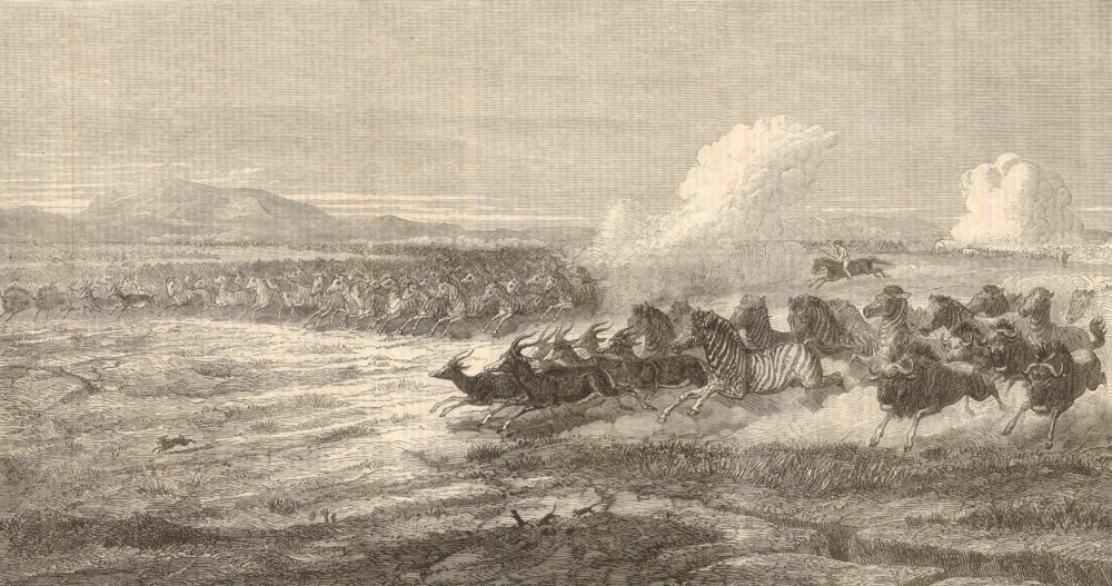 Associate Product Herd of Quaggas on the plains of the Vaal River, South Africa. Extinct 1868