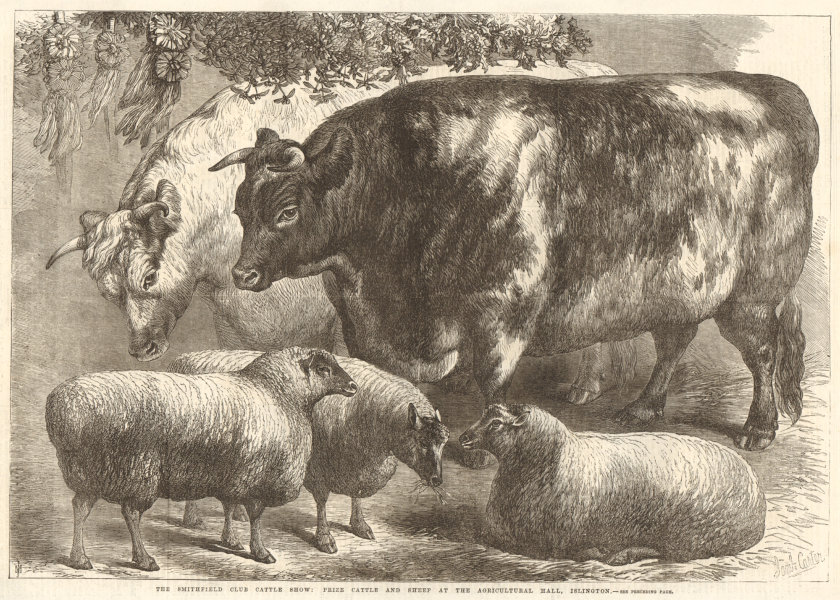Associate Product The Smithfield Club cattle show: prize cattle & sheep I 1868 antique ILN page