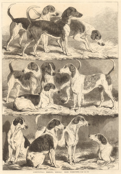 Associate Product Agricultural meeting, Lincoln: prize foxhounds. Lincolnshire. Dogs 1869