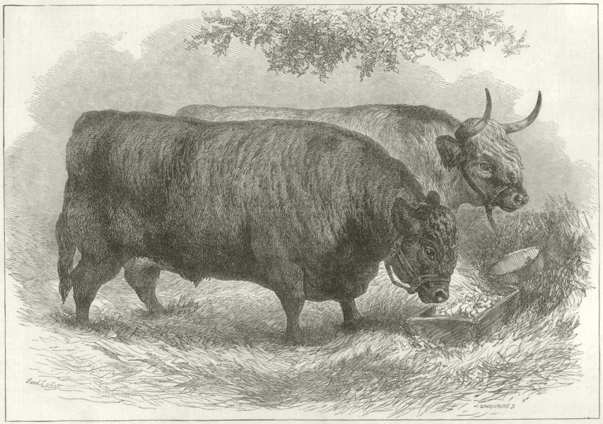 Associate Product Prize Oxen at the Smithfield Club Cattle Show. London 1872 ILN full page print