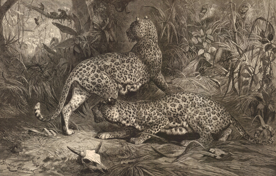 Associate Product In the Enemy's Country, by GB Goddard. Leopards hunting monkeys 1874 ILN print
