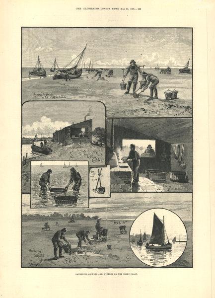 Associate Product Gathering cockles & winkles on Maplin Sands, Essex coast. Fishermen 1891