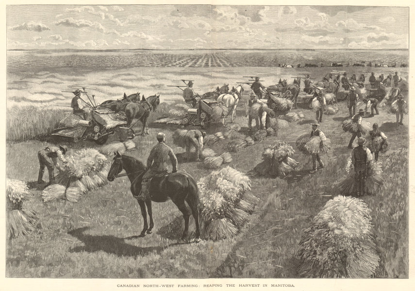 Canadian north-west farming: reaping the harvest in Manitoba 1891 ILN print