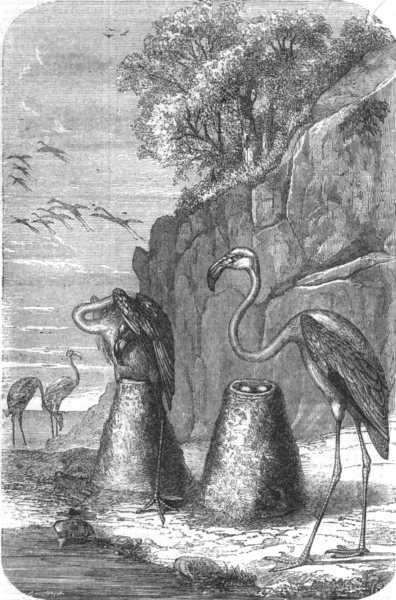 Associate Product BIRDS. Flamingoes nests, from The Universe, antique print, 1870
