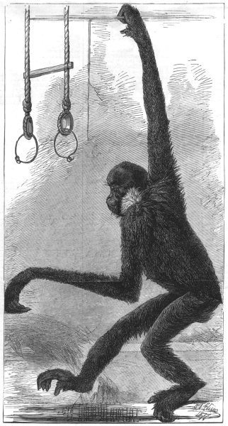 Associate Product LONDON. The white-cheeked gibbon, at the Zoological Society's Gardens, 1877